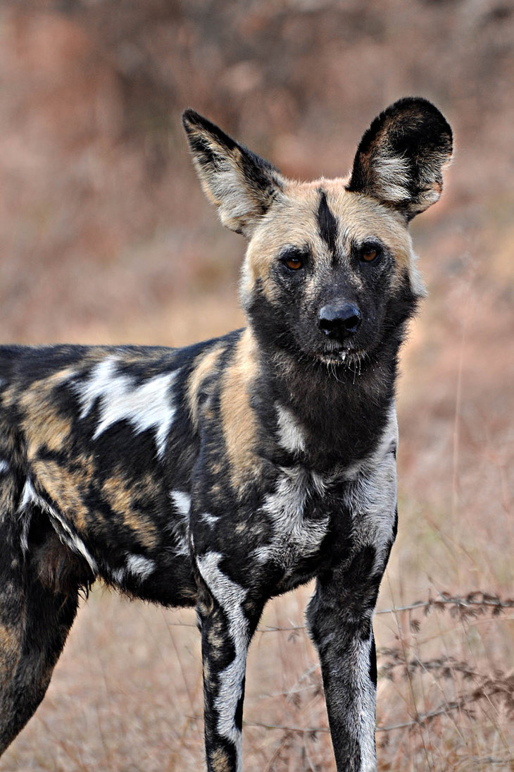 African Wild Dog Pet Video