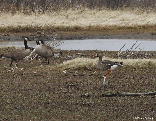 Bruce Di Labio S Blog June 14 17 2011 More Birding Churchill Manitoba