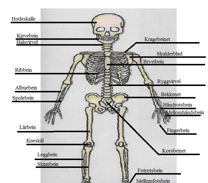 muskler i kroppen navn å ville