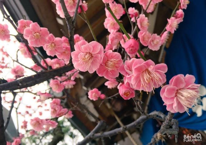 pruniers en fleur, Fukuoka