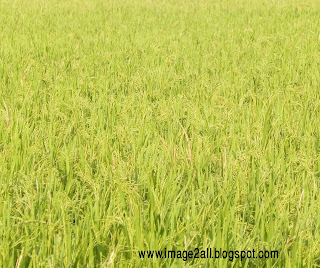 paddy field photography