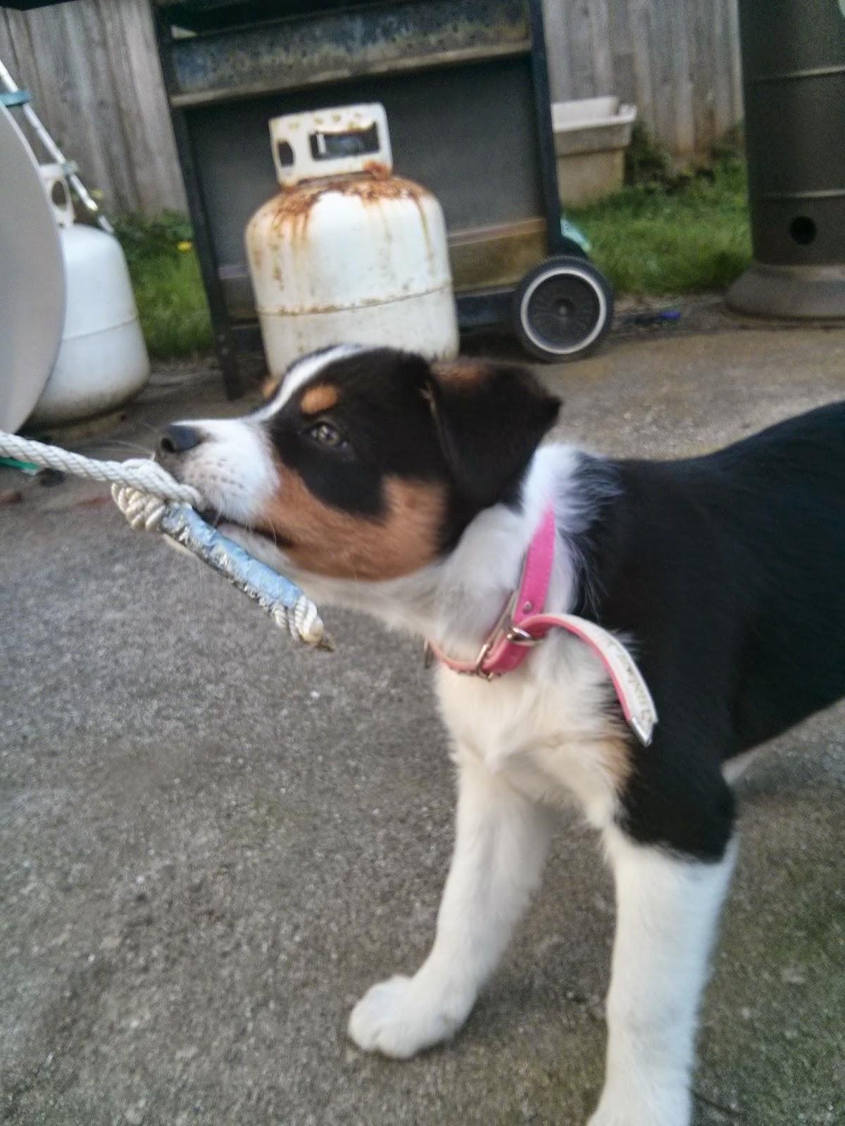 Nika\'s Dog Blog: 25 Tricolor Dog Breeds
