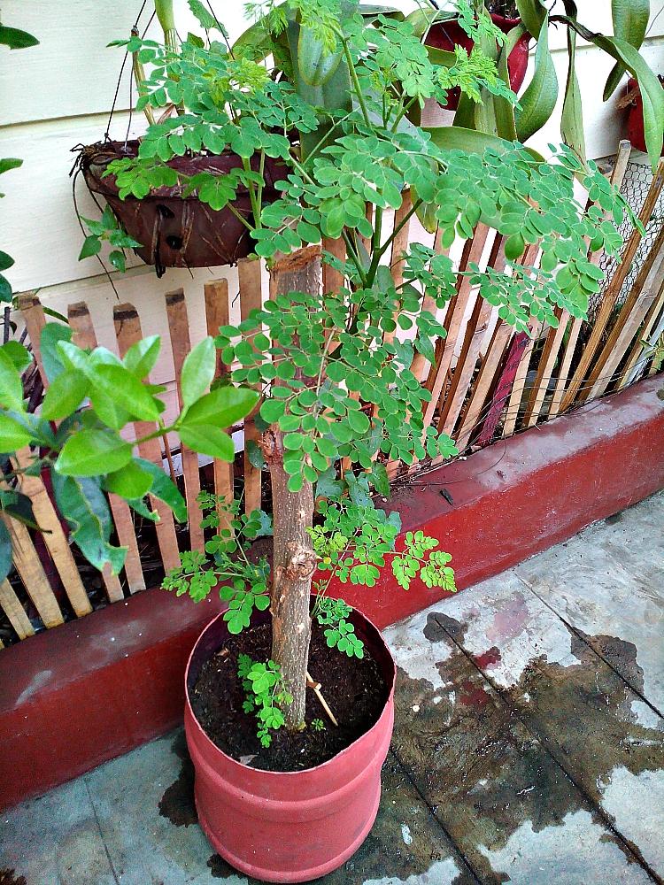 utilization moringa oleifera malunggay Malunggay (moringa) for sale by the kilo in the philippines recent recipes 5-min super easy moringa guacamole recipe everyone needs to know how to make the perfect moringa guacamole recipe  moringa oleifera has 7 times more vitamin c than oranges.