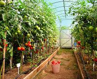 как вырастить томаты, большой урожай помидор, помидоры, томаты, томаты в теплице, помидоры в теплице