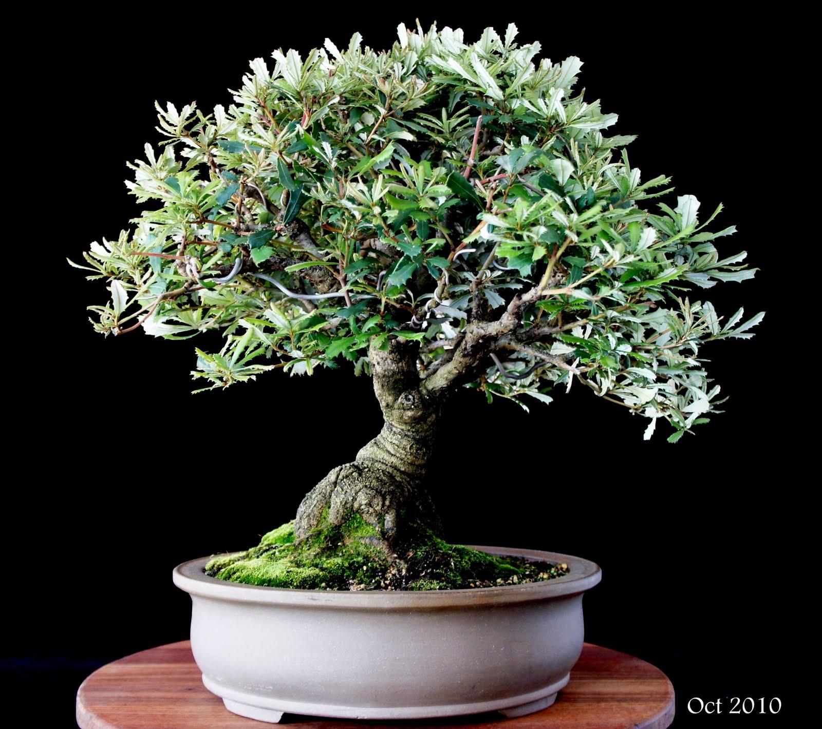 Newzealandteatreebonsai A Banksia Bonsai