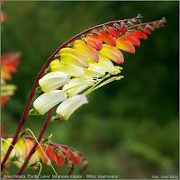 http://plantsgallery.blogspot.com/2013/01/mina-lobata-exotic-love-ipomoea-lobata.html