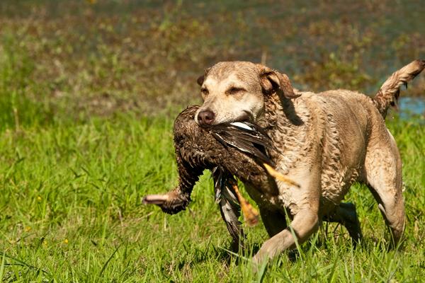 Good Dog Breeds For Duck Hunting Reddit
