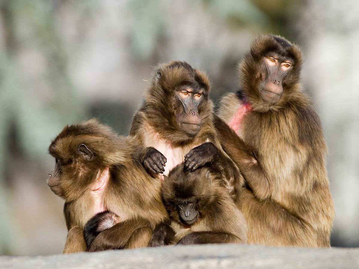 gelada baboon lip flip