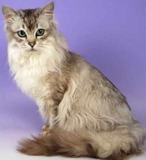 gambar kucing asian semi longhair atau kucing Tiffanie