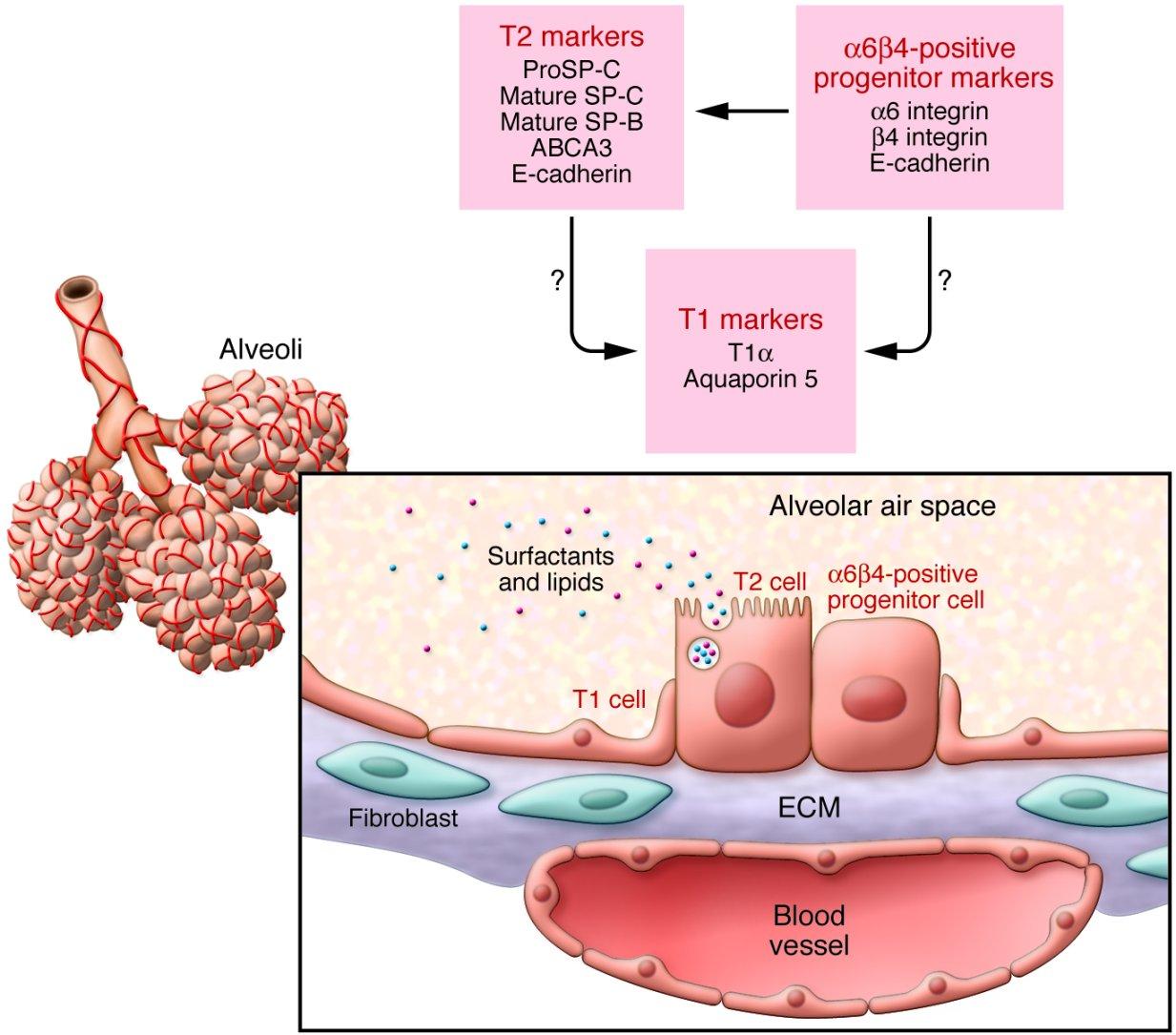 Clara Cell Diagram Schematics Wiring Diagrams Plant Labeled Free Download Schematic Anti Fibrosis June 2011 Alveolar Human