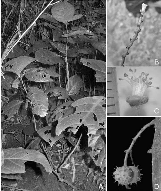 Mallotus-phongnhaensis-1