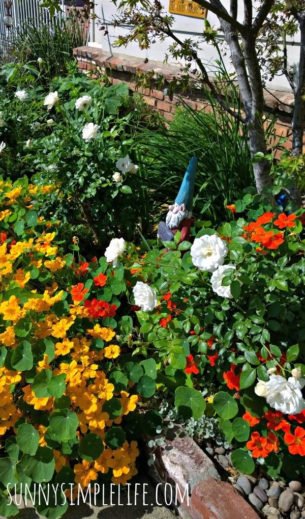 week in the garden and coop, spring cottage garden, nasturtiums, white roses, garden gnome