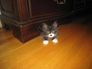 Kitten hiding under a dresser