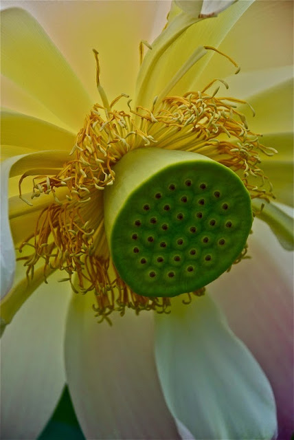 http://society6.com/janicesullivan/collection/lotus-flowers