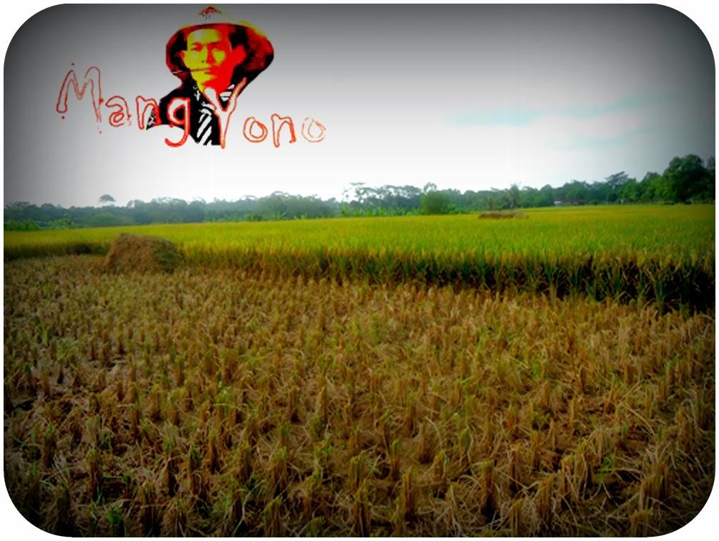 Panen padi akhirnya datang juga di Pagaden Barat, Subang, Jawa Barat 16 Maret 2014