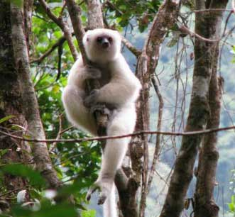 Most Amazing Almost Extinct Animals Silky Sifaka
