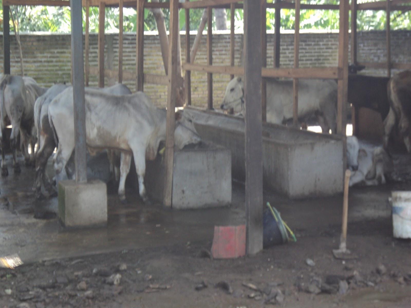 sapi sapi ternak bakalan dan pedaging gambar sapi limosin sapi sapi ...