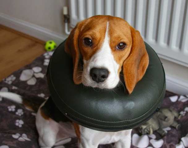 Todomascotas com la alternativa a los collares isabelinos for Como hacer un collar para perro