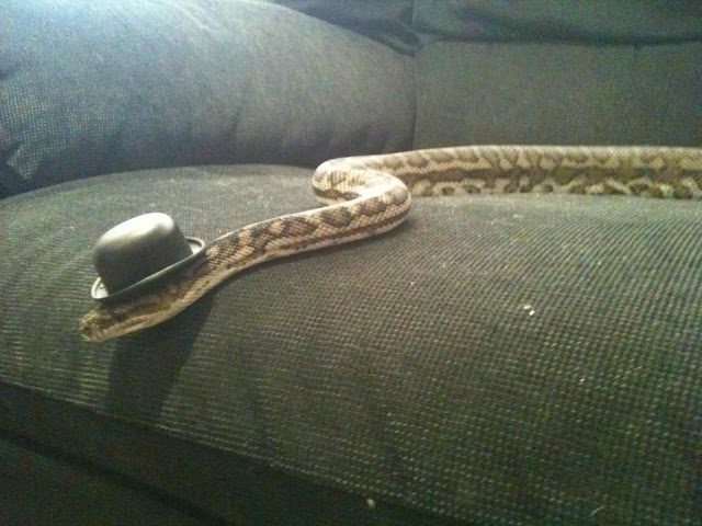 funny animal pictures, snake with hat