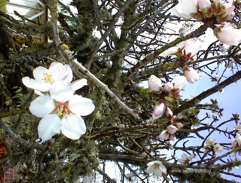 Almond Blossoms, © B. Radisavljevic