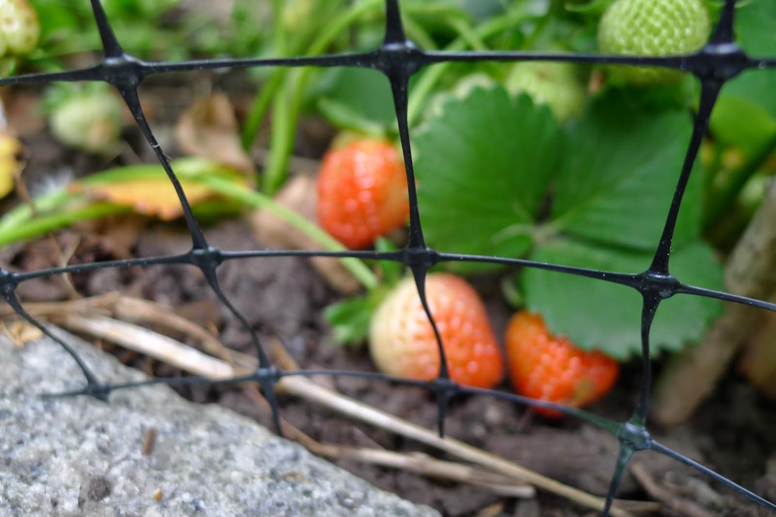 Netting over strawberries, organic pest control, urban farming