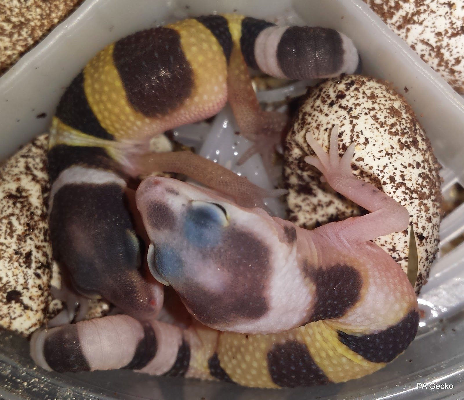 PA-Gecko-Normal-White-Yellow-1
