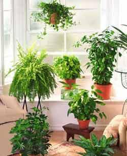 El blog de las variedades plantas de interior - Variedades de plantas de interior ...