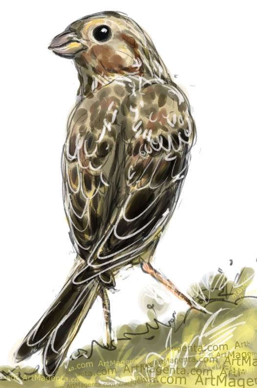 Corn Bunting sketch painting. Bird art drawing by illustrator Artmagenta