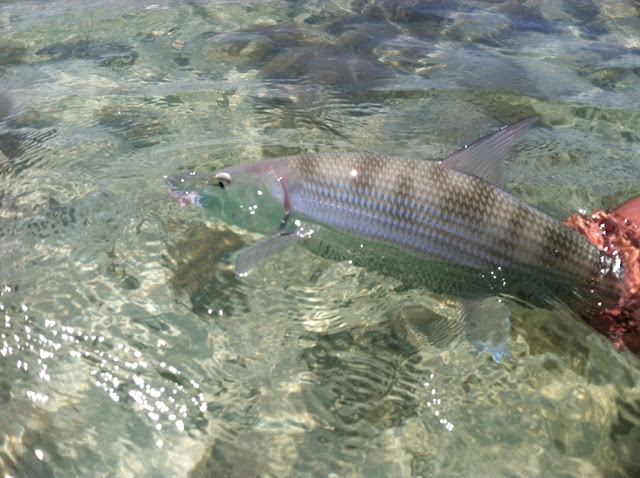 Key west fishing flats fishing tarpon bonefishing for Bone fishing key west