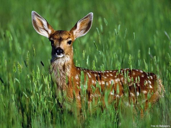 Deer Wild Animals