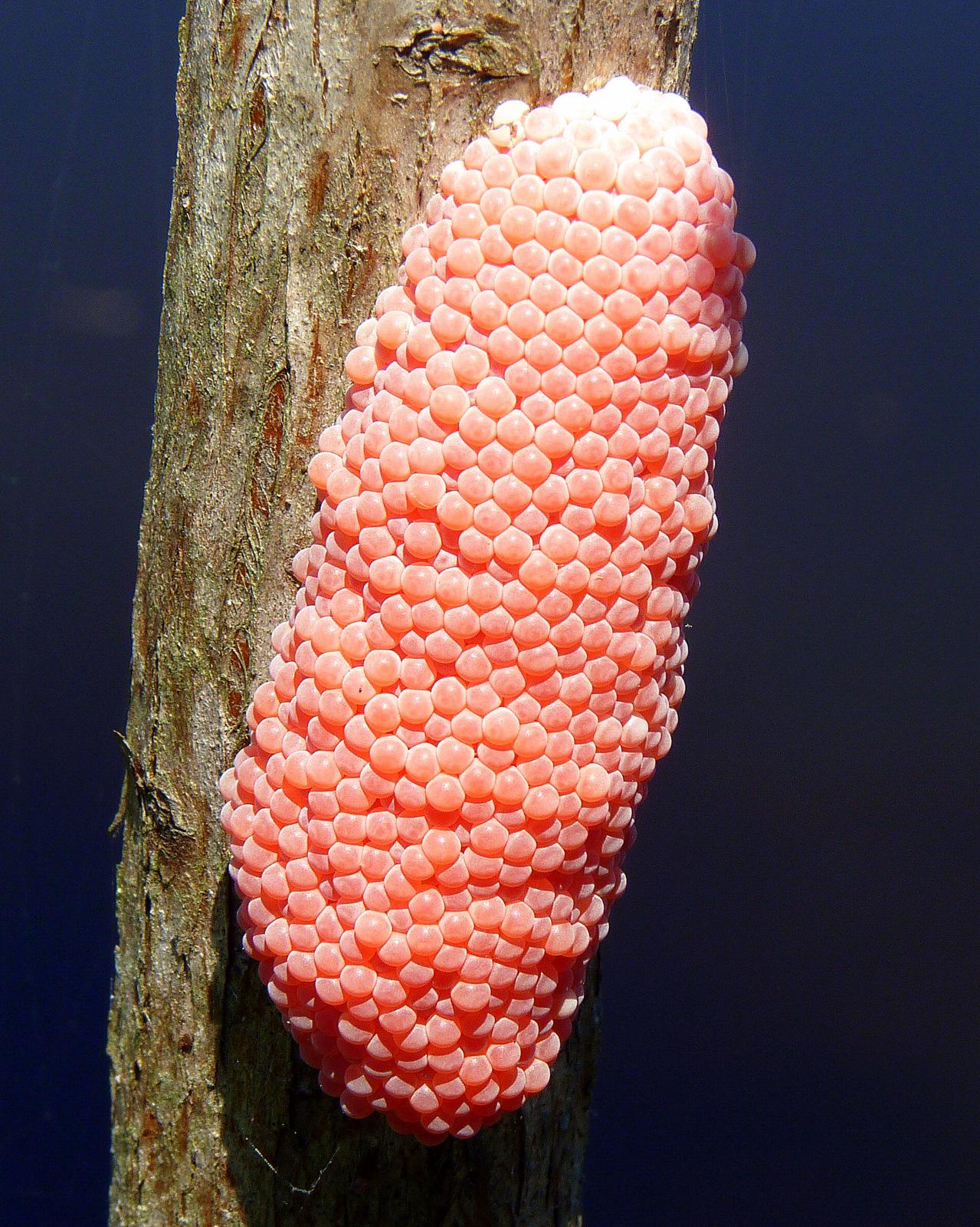 Family Ampullariidae Family Ampullariidae Are