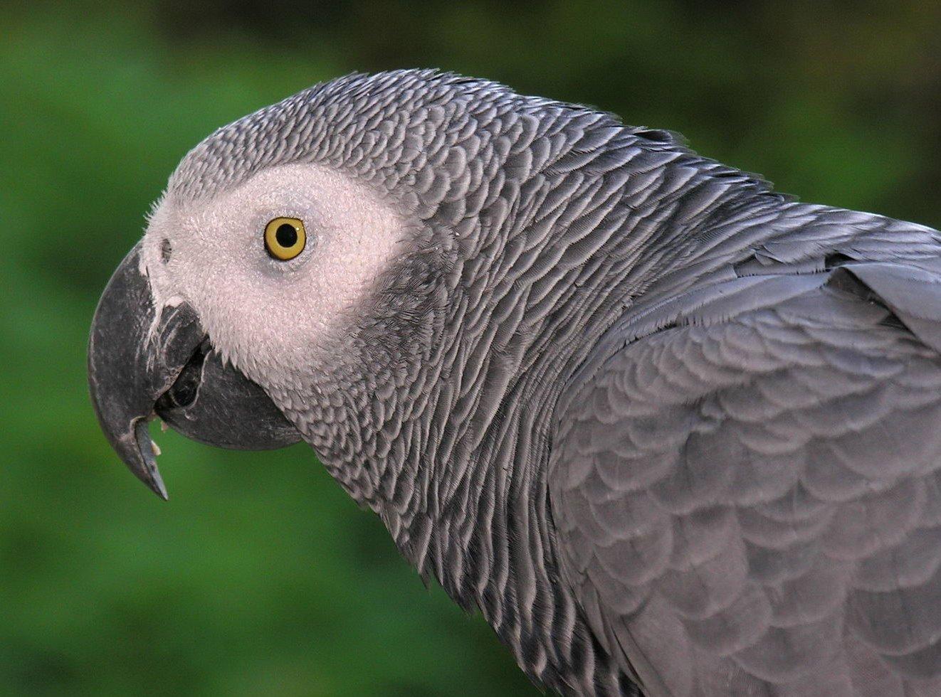 african grey parrot -#main