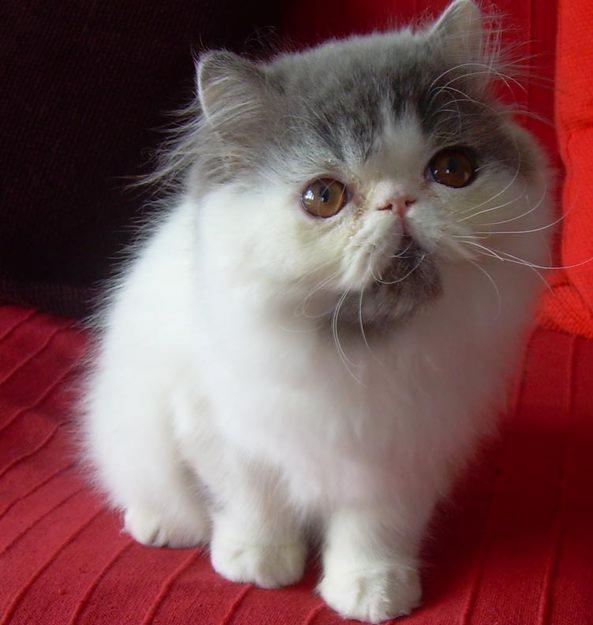 Gattini Gatto Persiano