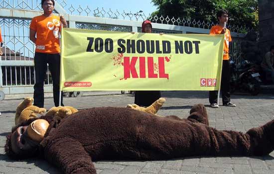 Seekor Orangutan Mati di Taman Satwa Solo