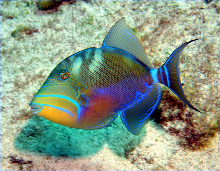 Queen triggerfish fishes for Salt water fishes