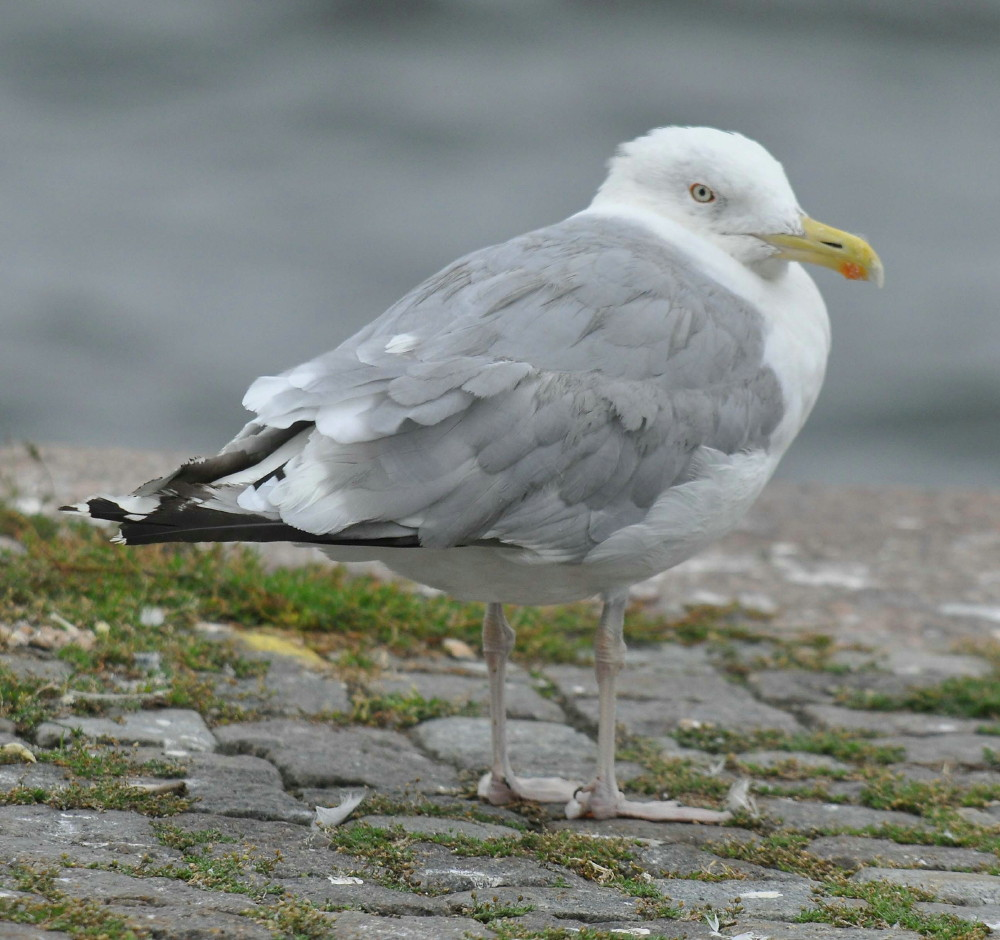 Adult sea gull can not