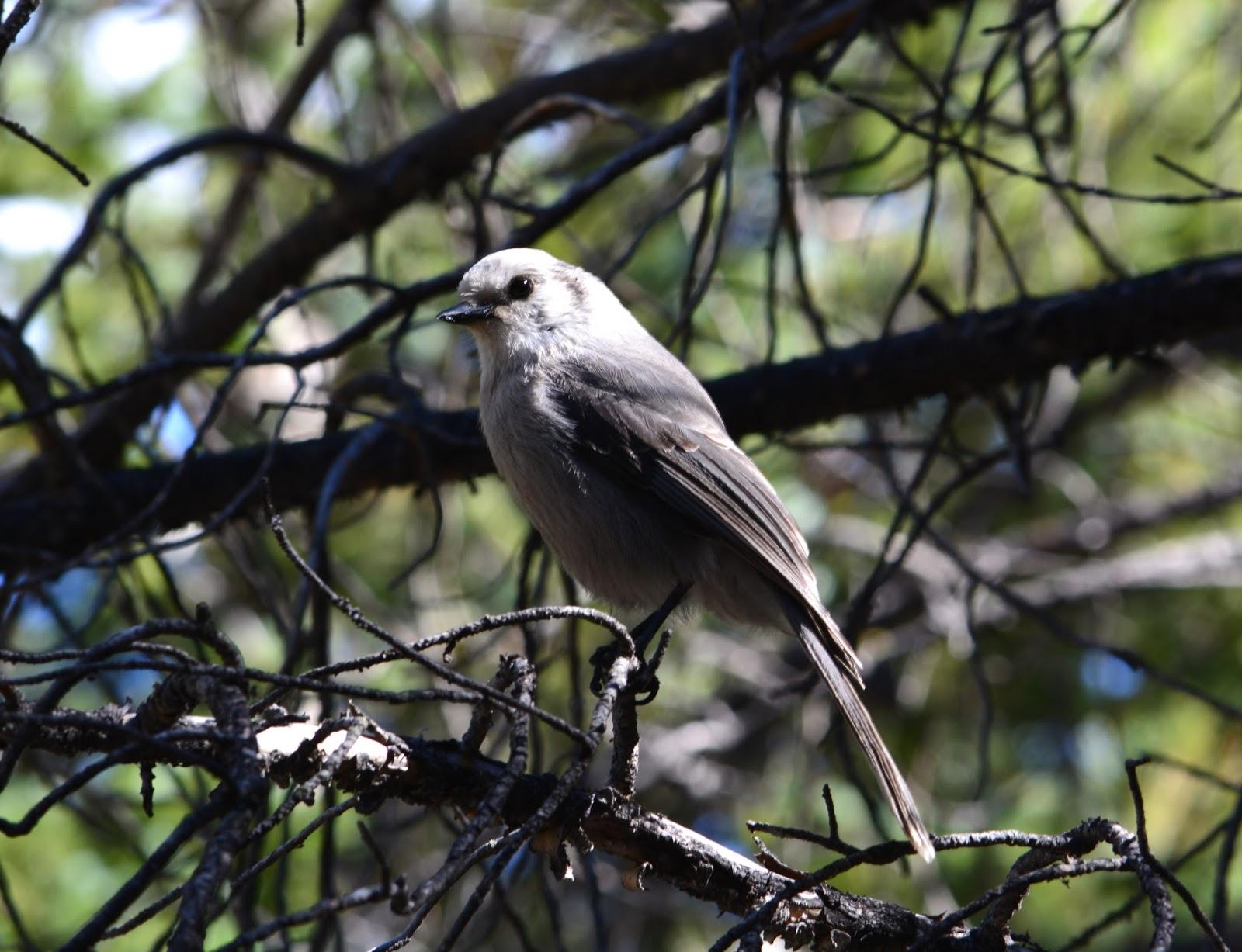 cozy birdhouse | gray jay at rocky mountain national park