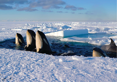 Killer Whales from Frozen Planet
