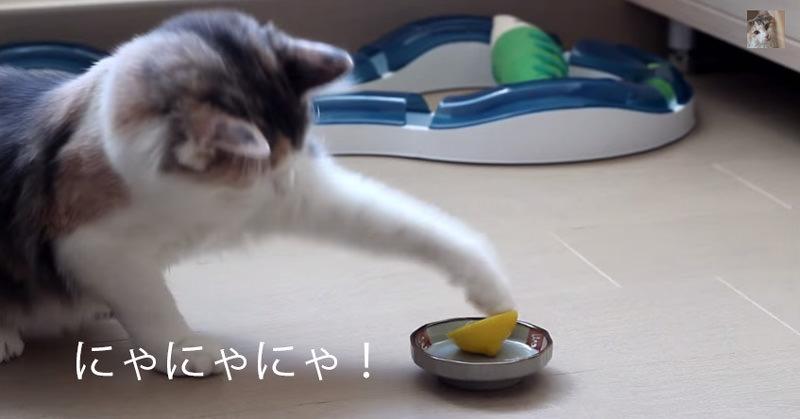 レモンと戦うとあるネコさんがカワイイ!