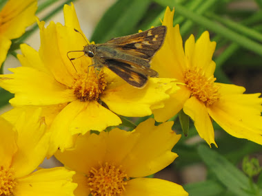 Yellow Flowers with Skipper
