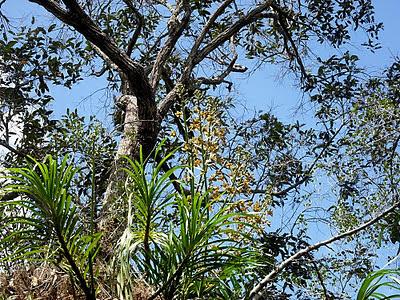 Wild Orchids Borneo