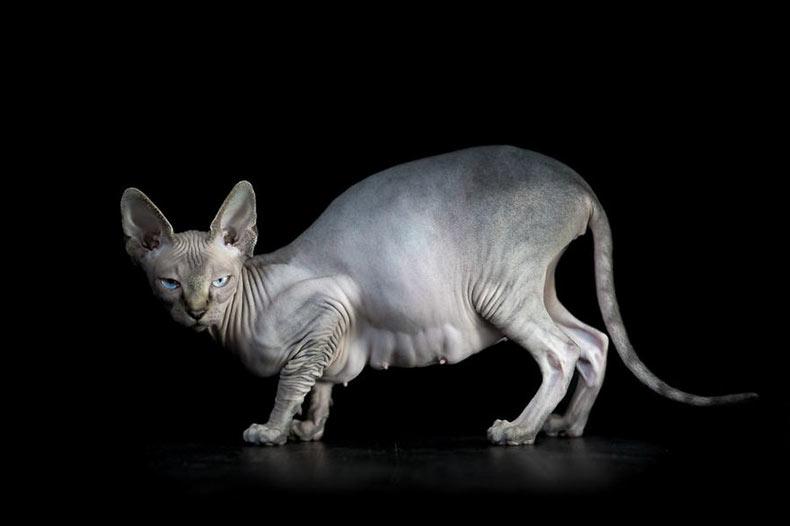 Retratos de gatos esfinge muestran lo que realmente pasa por debajo de toda ese pelaje
