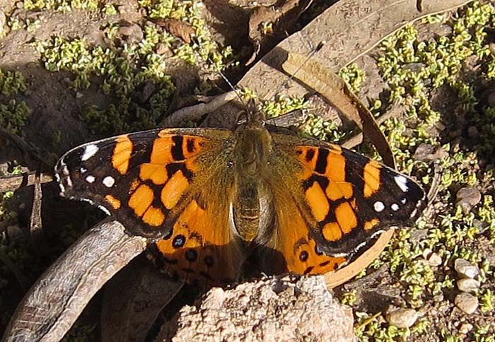 birdernaturalist winter butterflies in arizona