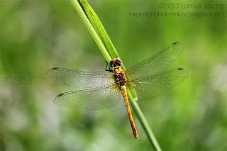 photo macro insecte libellule orange 60mm détail des ailes nettes sympétrum