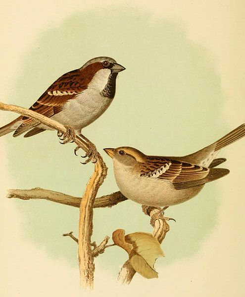Raising Of Sparrow Pictures : Bird courtship displays are integral to mating and raisingyoung ...