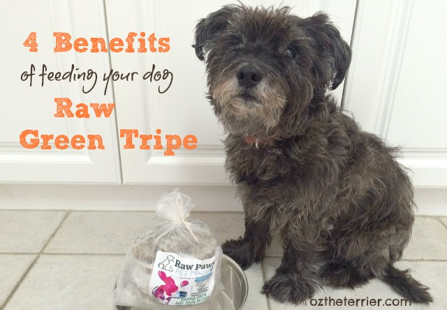Oz the Terrier shares 4 health Benefits of Feeding Your Dog Raw Green Tripe