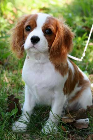 The dog in world: Cavalier King Charles Spaniel