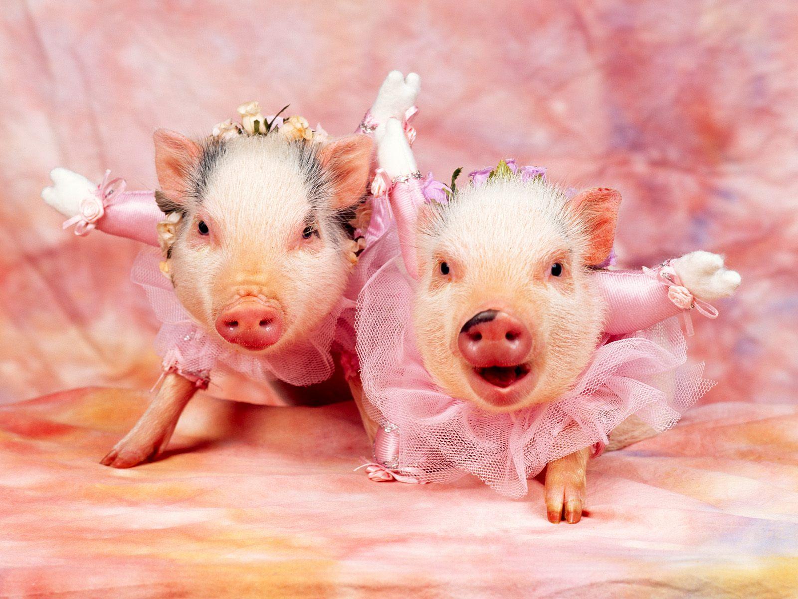 http://4.bp.blogspot.com/-eynGDtmAzpU/Tjm9D_PIwmI/AAAAAAAAAU4/TRIRDjc9q2k/s1600/Pigs+Wallpapers+12.jpg