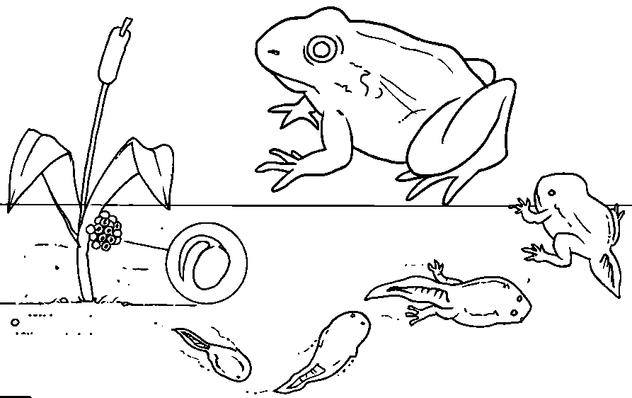 Tadpoles To Frogs Coloring Pages