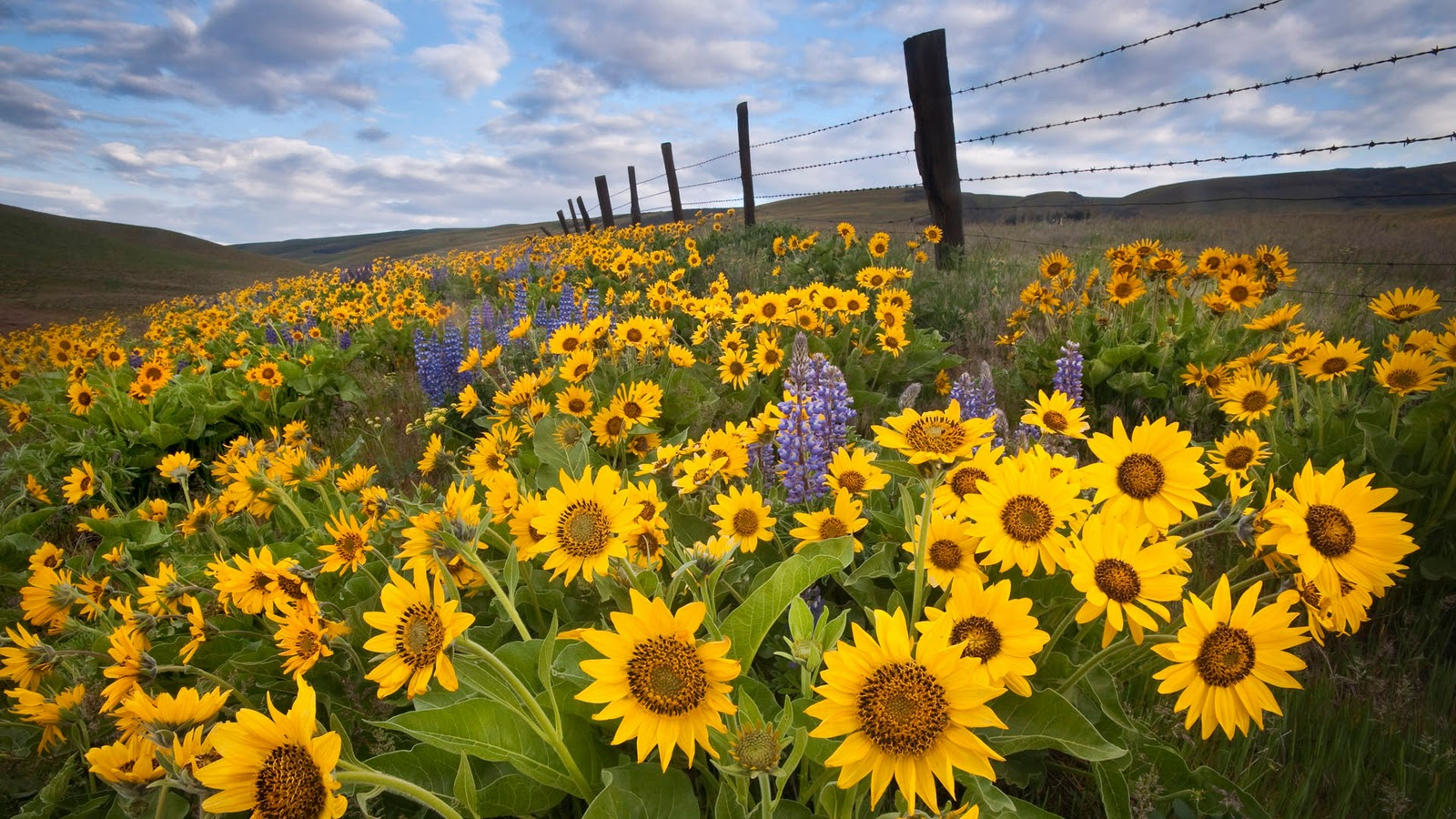 Beautiful Nature Pictures Beautiful Sunflowers On Hill